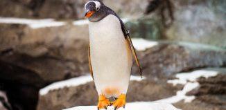 pinguin care merge prin zapada