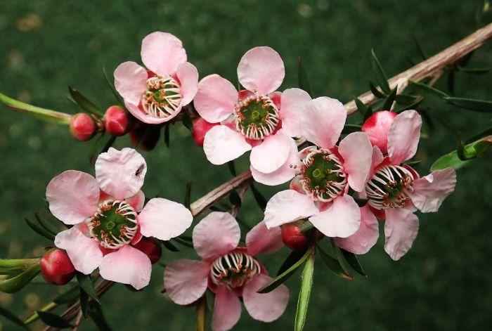 Flori de arbore de ceai